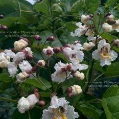 Катальпа великолепная (Catalpa spesioca) ФОТО Питомник растений Природа Priroda