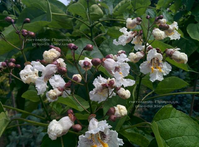 Катальпа великолепная / прекрасная (Catalpa spesiosa) ФОТО Питомник растений Природа (Priroda) (7)