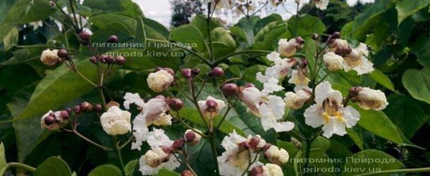 Катальпа великолепная / прекрасная (Catalpa spesiosa) ФОТО Питомник растений Природа (Priroda) (8)