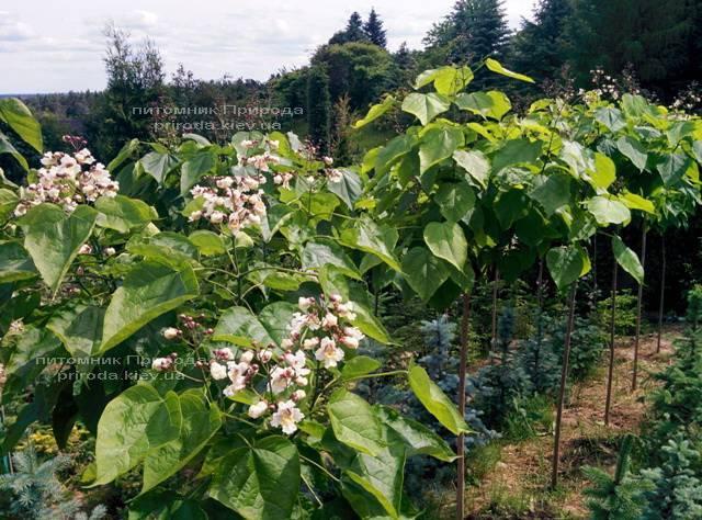Катальпа великолепная / прекрасная (Catalpa spesiosa) ФОТО Питомник растений Природа (Priroda) (9)