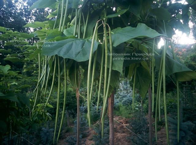 Катальпа великолепная / прекрасная (Catalpa spesiosa) ФОТО Питомник растений Природа (Priroda) (10)