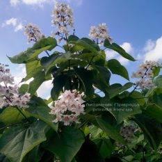 Катальпа великолепная / прекрасная (Catalpa spesiosa) ФОТО Питомник растений Природа (Priroda) (11)