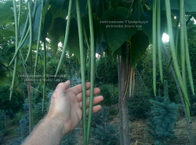Катальпа великолепная / прекрасная (Catalpa spesiosa) ФОТО Питомник растений Природа (Priroda) (12)
