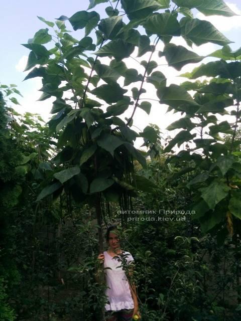 Катальпа великолепная / прекрасная (Catalpa spesiosa) ФОТО Питомник растений Природа (Priroda) (13)