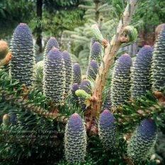 Пихта корейская (Abies koreana) ФОТО Питомник растений Природа Priroda (32)