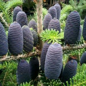 Пихта корейская (Abies koreana) ФОТО Питомник растений Природа Priroda (27)