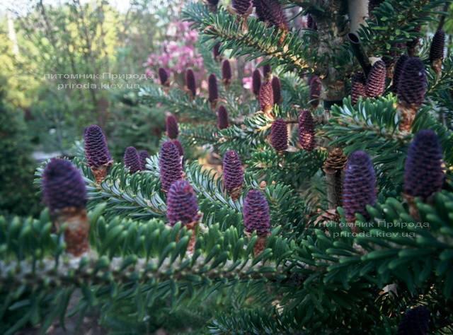 Пихта корейская (Abies koreana) ФОТО Питомник растений Природа Priroda (28)