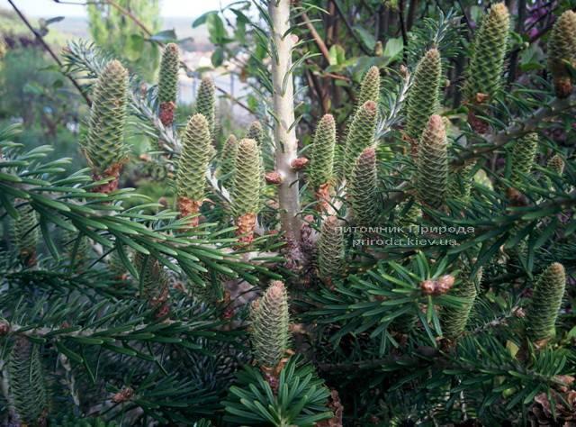 Пихта корейская (Abies koreana) ФОТО Питомник растений Природа Priroda