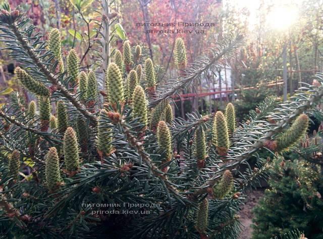 Пихта корейская (Abies koreana) ФОТО Питомник растений Природа Priroda (35)
