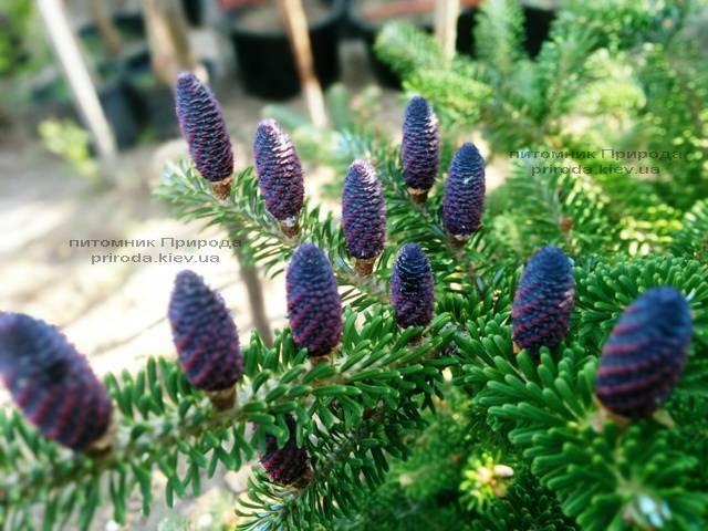 Пихта корейская (Abies koreana) ФОТО Питомник растений Природа Priroda (36)
