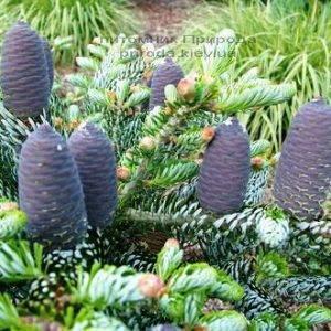 Пихта корейская Силберлок (Abies koreana Silberlocke) ФОТО Питомник растений Природа Priroda (47)
