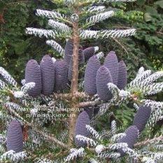 Пихта корейская Силберлок (Abies koreana Silberlocke) ФОТО Питомник растений Природа Priroda (54)