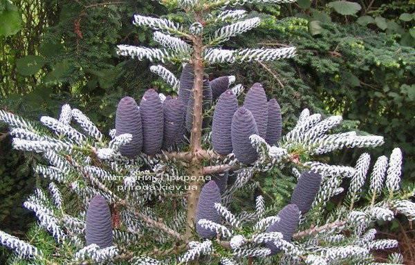 Пихта корейская Силберлок (Abies koreana Silberlocke) ФОТО Питомник растений Природа Priroda
