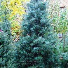 Пихта одноцветная (Abies Concolor) ФОТО Питомник растений Природа Priroda (64)
