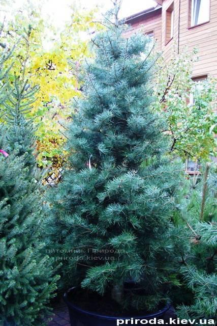 Пихта одноцветная (Abies Concolor) ФОТО Питомник растений Природа Priroda
