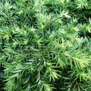 Тсуга канадская Джедделох (Tsuga canadensis Jeddeloh) ФОТО Питомник растений Природа Priroda (5)