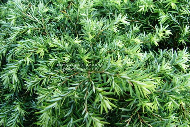 Тсуга канадская Джедделох (Tsuga canadensis Jeddeloh) ФОТО Питомник растений Природа Priroda
