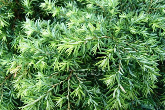 Тсуга канадская Джедделох (Tsuga canadensis Jeddeloh) ФОТО Питомник растений Природа Priroda (6)