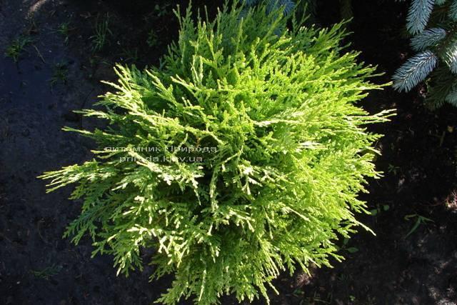 Туя западная Глобоза (Thuja occidentalis Globosa) ФОТО Питомник растений Природа Priroda
