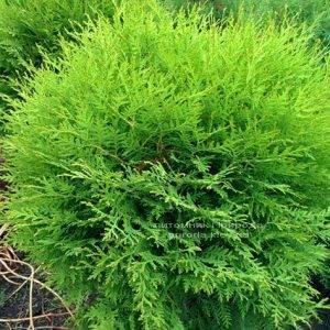 Туя западная Глобоза (Thuja occidentalis Globosa) ФОТО Питомник растений Природа Priroda (31)