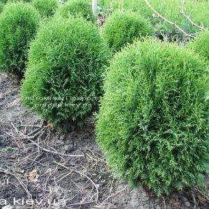 Туя западная Литл Джайант (Thuja occidentalis Little Giant) ФОТО Питомник растений Природа Priroda (34)