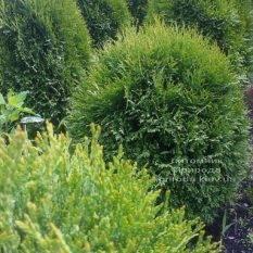 Туя западная Литл Джайант (Thuja occidentalis Little Giant) ФОТО Питомник растений Природа Priroda (32)