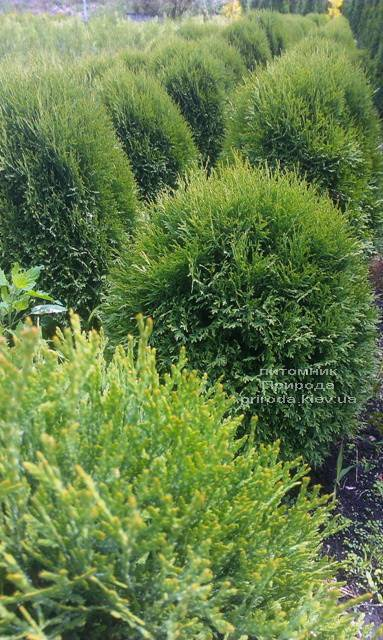 Туя западная Литл Джайант (Thuja occidentalis Little Giant) ФОТО Питомник растений Природа Priroda