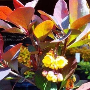 Барбарис обыкновенный Атропурпуреа (Berberis vulgaris Atropurpurea) ФОТО Питомник растений Природа Priroda (72)