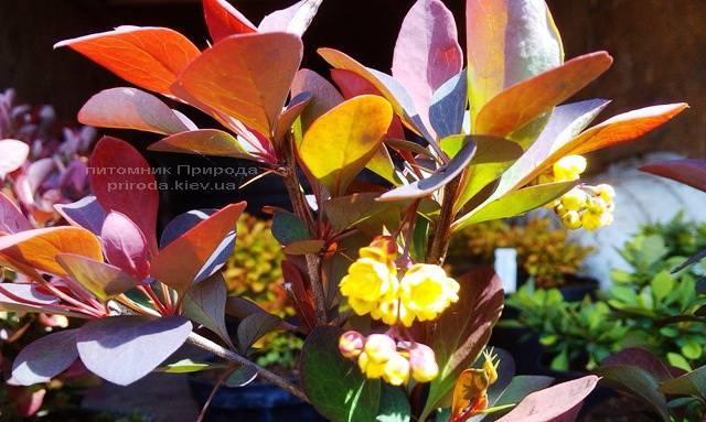 Барбарис обыкновенный Атропурпуреа (Berberis vulgaris Atropurpurea) ФОТО Питомник растений Природа Priroda