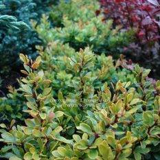 Барбарис Тунберга Кобольд (Berberis thunbergii Kobold) ФОТО Питомник растений Природа Priroda (68)