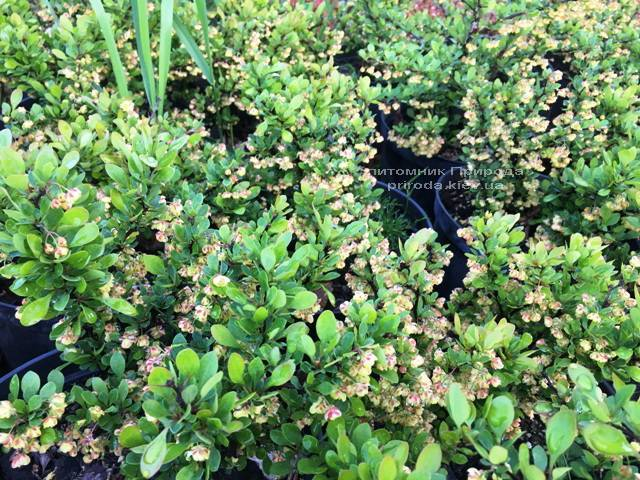 Барбарис Тунберга Кобольд (Berberis thunbergii Kobold) ФОТО Питомник растений Природа Priroda