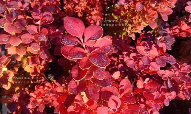 Барбарис Тунберга Оранж Рокет (Berberis thunbergii Orange Rocket) ФОТО Питомник растений Природа Priroda