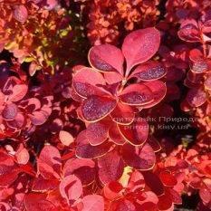 Барбарис Тунберга Оранж Рокет (Berberis thunbergii Orange Rocket) ФОТО Питомник растений Природа Priroda (66)
