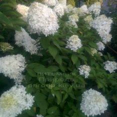 Гортензия метельчатая Лаймлайт (Hydrangea paniculata Limelight) ФОТО Питомник растений Природа Priroda (1)