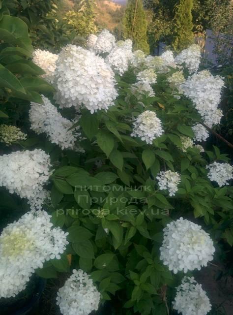 Гортензия метельчатая Лаймлайт (Hydrangea paniculata Limelight) ФОТО Питомник растений Природа Priroda