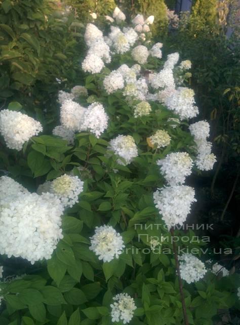 Гортензия метельчатая Лаймлайт (Hydrangea paniculata Limelight) ФОТО Питомник растений Природа Priroda (2)