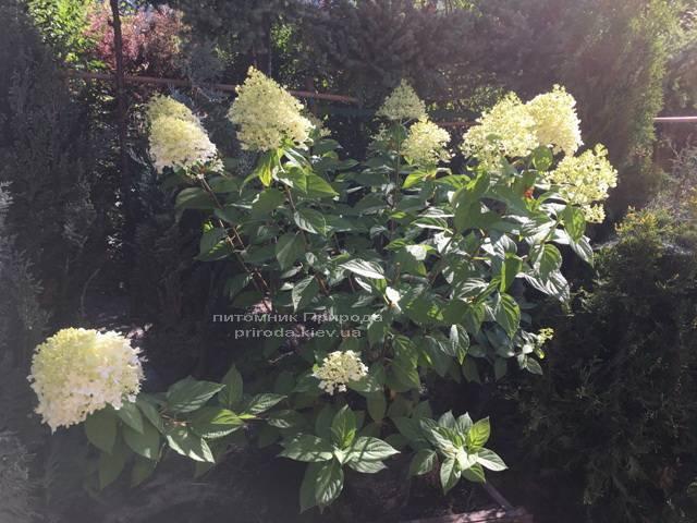 Гортензия метельчатая Лаймлайт (Hydrangea paniculata Limelight) ФОТО Питомник растений Природа Priroda (3)