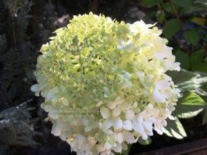 Гортензия метельчатая Лаймлайт (Hydrangea paniculata Limelight) ФОТО Питомник растений Природа Priroda (4)