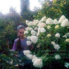 Гортензия метельчатая Лаймлайт (Hydrangea paniculata Limelight) на штамбе ФОТО Питомник растений Природа Priroda