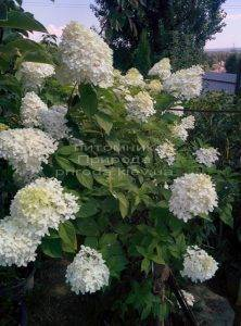 Гортензия метельчатая Лаймлайт (Hydrangea paniculata Limelight) на штамбе ФОТО Питомник растений Природа Priroda (7)