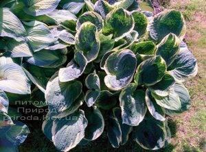 Хоста (Hosta) ФОТО Питомник растений Природа Priroda (16)