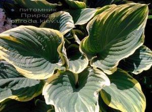 Хоста (Hosta) ФОТО Питомник растений Природа Priroda (18)