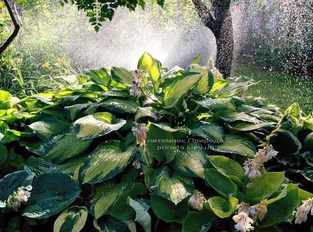 Хоста (Hosta) ФОТО Питомник растений Природа Priroda (19)