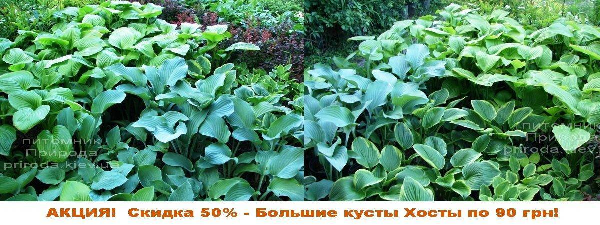 Хоста (Hosta) ФОТО Питомник растений Природа Priroda (20)