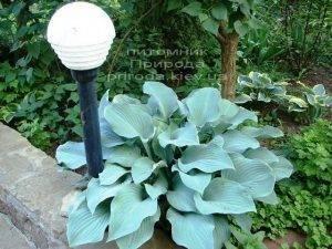 Хоста (Hosta) ФОТО Питомник растений Природа Priroda (5)