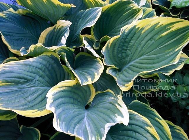 Хоста (Hosta) ФОТО Питомник растений Природа Priroda