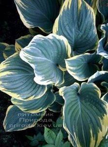 Хоста (Hosta) ФОТО Питомник растений Природа Priroda (9)