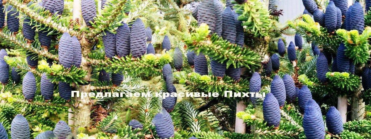 Пихта корейская (Abies koreana) ФОТО Питомник растений Природа Priroda (67)