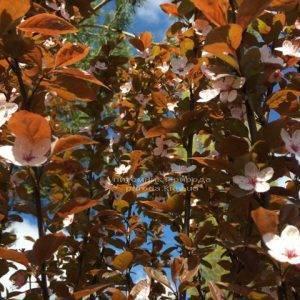 Слива цистена на штамбе (Prunus cistena) ФОТО Питомник растений Природа Priroda (25)
