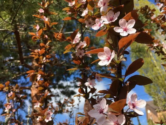 Слива цистена на штамбе (Prunus cistena) ФОТО Питомник растений Природа Priroda (22)
